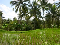 Lush green rise fields and palm trees nearby Ubud, Bali.